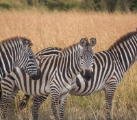 On Safari at the Maasai Mara Nature Reserve