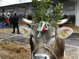 Uno degli animali premiati nelle scorse edizioni di Lombardia Carne