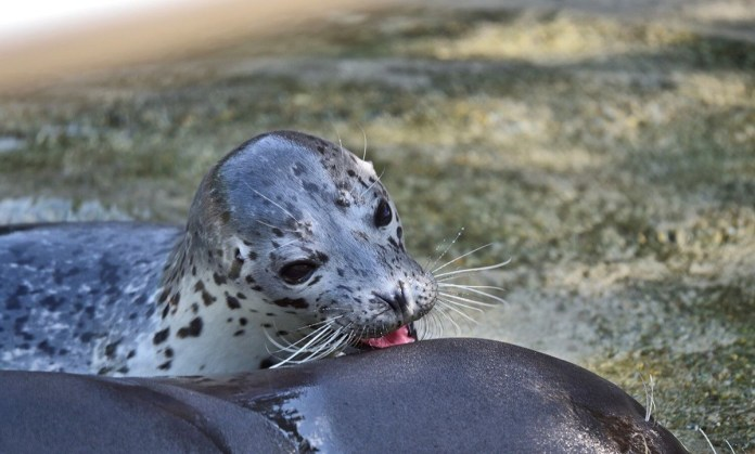 Le foche appena nate al parco naturalistico delle Cornelle a Bergamo, foto da Parco Cornelle