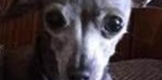 Minimi, il cane rubato a una coppia di tedeschi con l'auto è stato trovato morto