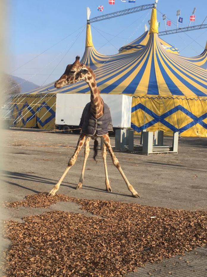 Giraffa del circo in un piazzale di Brescia, foto da Facebook