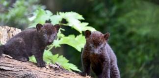I due cuccioli di pantera nera nati al parco Le Cornelle
