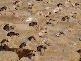 gregge di pecore -