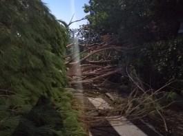 alberi abbattuti, maltempo