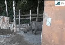 rinoceronte Toby