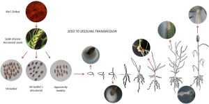 This is a graphical abstract to summarise the findings of the picture. It is a diagram like a flow chart, with images connected by arrows. On the top left, there is a circular image with fluorescent red fungus magnified from a microscope. This image is above a wheat ear showing symptoms of wheat blast infection. The symptoms are bleaching of the otherwise green wheat spikes. Arrows point from this image, to three images of wheat grain. Each image shows grain that is either: shrivelled, shrivelled and darker in colour, or healthy. All three images point to a diagram which shows a seed growing into a seedling. From each phase of seedling growth, arrows point to images of infected wheat tissue.