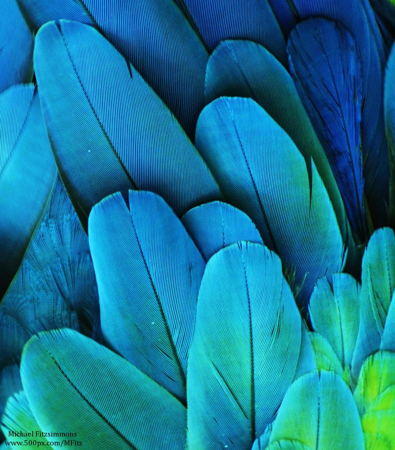 Blue Macaw feathers by Michael Fitzsimmons