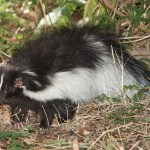 7 Ways to De-Skunk Your Pet