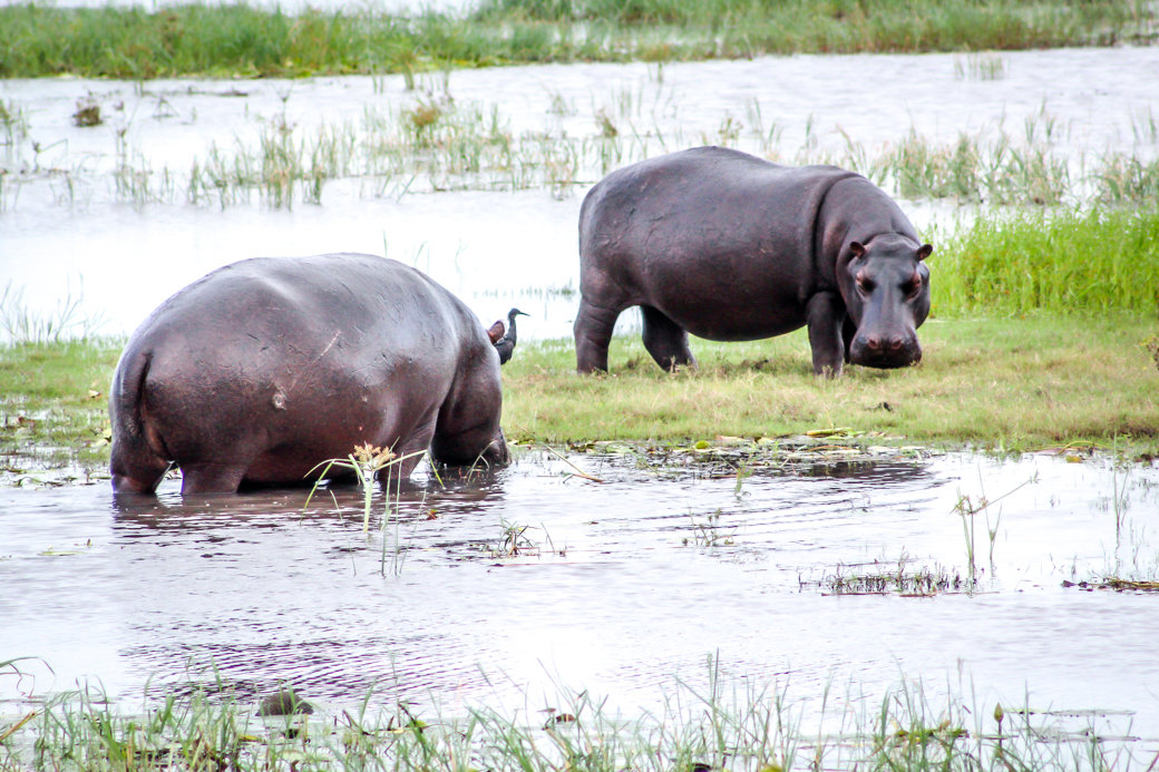 Hippo | Safari | Botswana | Chobe National Park | Sanctuary Chobe Chilwero Camp | Bubbly Moments