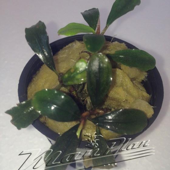 Bucephalandra Brownie