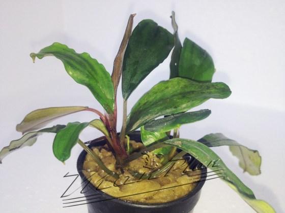 Bucephalandra Sekadau ManPlan
