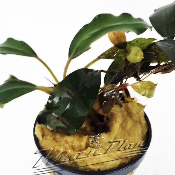 Bucephalandra Sekadau