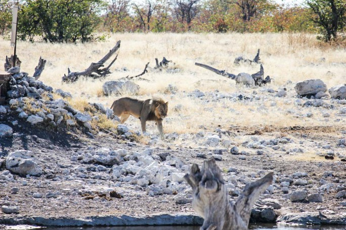 Lion at a watering hole, Namibia