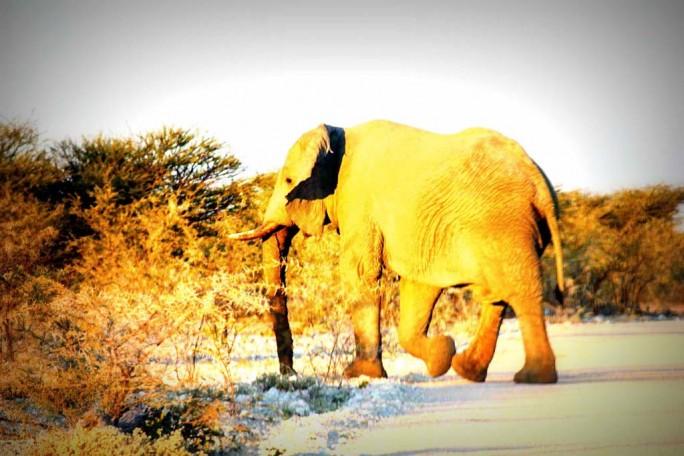 Elephant Crossing, Namibia