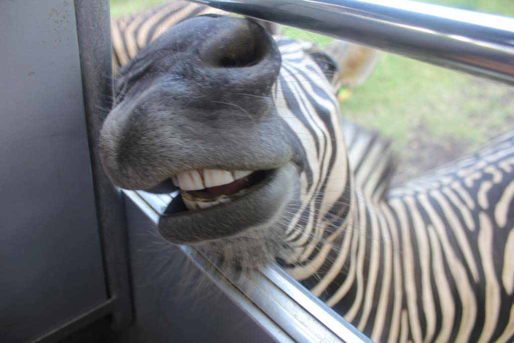 Zebra at Casela