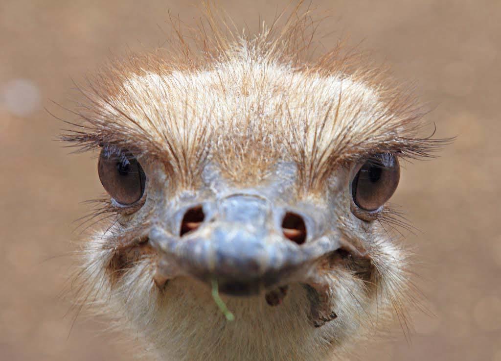 Ostrich at Casela