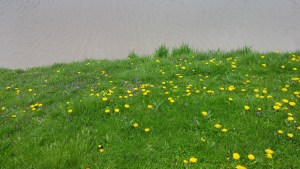 Dandelions growing on the bank of the Waterworks Pond in Clyde, Ohio (author's photo).