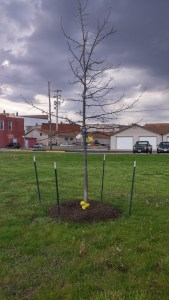 Tree planted in memory of Sherwood Anderson on the old depot site by local citizens working to preserve the memory of Sherwood Anderson and his family in Clyde (author's photo).
