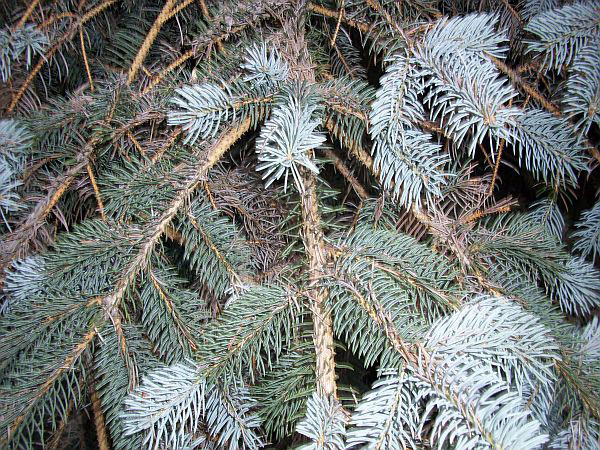 Rhizosphaerea On Colorado Blue Spruce