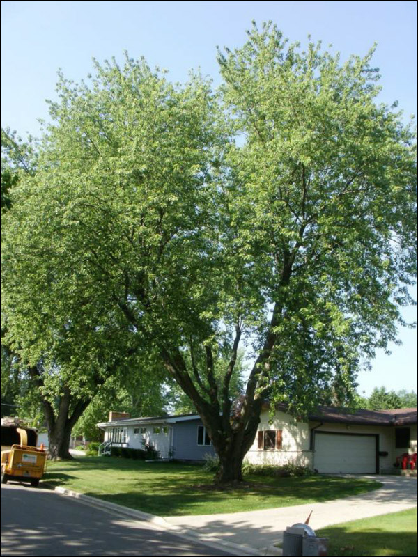 Silver Maple Pruning Before