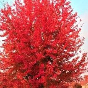WhyPrune OvergrownMaple