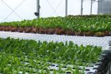 Greens growing