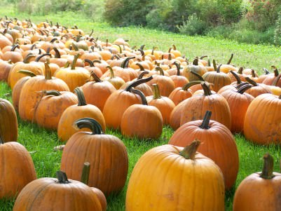 Pumpkins at Trauger's Farm