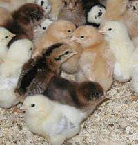 Happy Farm chicks; photo courtesy of The Happy Farm