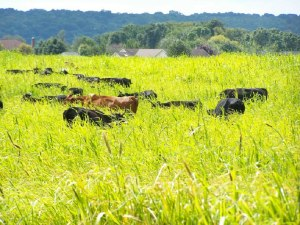 Cows in pasture; photo by L. Goldman
