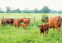 Grass-fed cattle at Tussock Sedge Farm in Blooming Glen, Bucks County