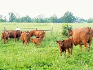 Tussock Sedge Farm cows & calves; photo by L. Goldman