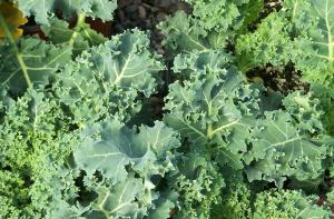 Kale from Milk House Farm Market