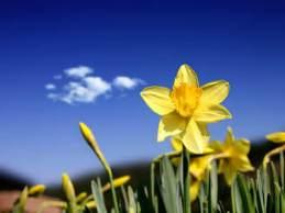daffodils_blue sky