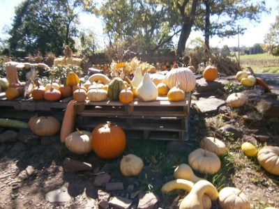 Gourds & pumpkins at Milk House Farm