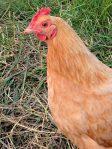 Hershberger chicken 3_photo credit Lynne Goldman