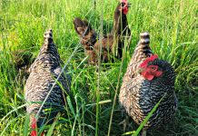 Hershberger hens on pasture_photo credit Lynne Goldman