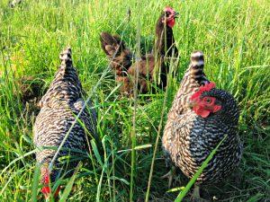 Hershberger hens on pasture_photo credit Lynne Goldman