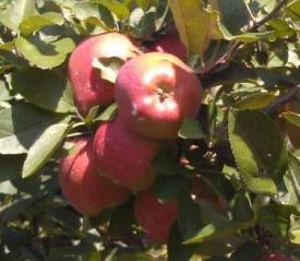 Tabora Farms apples on tree