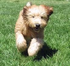 soft wheaten terrier