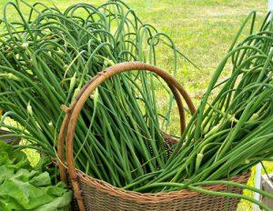 garlic scapes_crop_edit