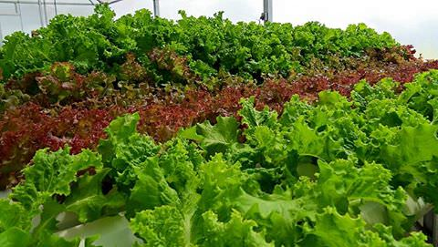 Lettuce, Yardley Farmers Market Facebook