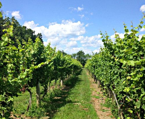 Unami Ridge vineyard; photo credit Lynne Goldman
