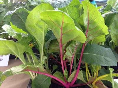 Lettuce, Wrightstown Farmers Market