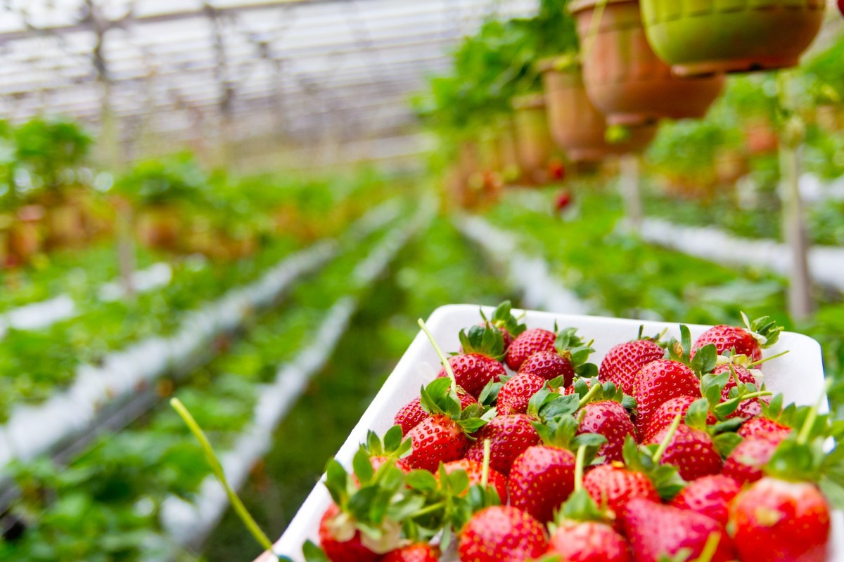 Pick-your-own strawberries in Bucks County: 2017