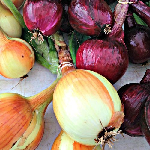 Onions_Promised Land Farm_photo Lynne Goldman