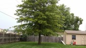 Oak tree with chlorosis 2 months after iron injection
