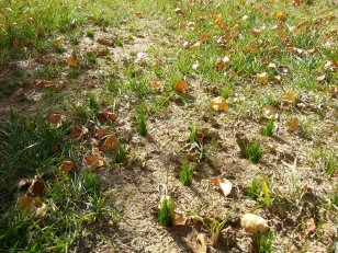 Up close look at new grass growing in aeration holes in a bare area. This will fill in completely!
