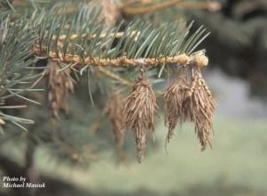 SpruceBagworms