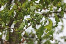 oak anthracnose