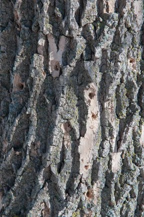 woodpeckers going after borer insects